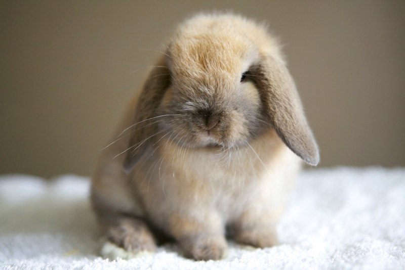 Rabbits For Sale Find Local Rabbit Breeders